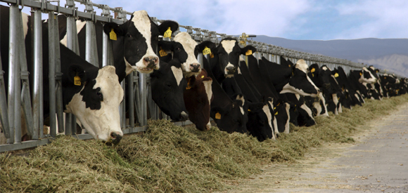 Drenching Cows with Drench-Mate